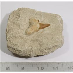 GENUINE FOSSIL SHARK TOOTH IN SAND