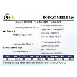 Bobcat Merle 320