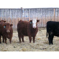 New Muehl Colony - 750# Simm X Weaned Heifers