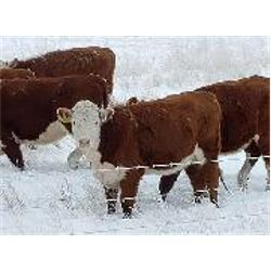 Jay Ranch - Horned Herefords