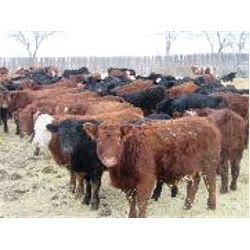 Vossepoel Cattle Co. - Steers