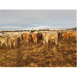 Lowe Ranches - Steers
