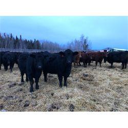 Vandeliht Farms - Bred Heifers