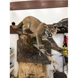 Lifesize Mount from True-Life Taxidermy