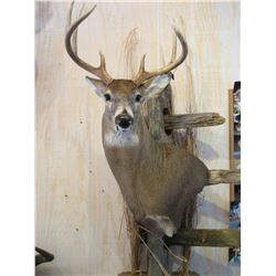 Shoulder Mount of a Deer Sized Animal by Stranix Taxidermy
