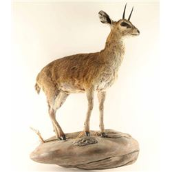 Very Rare Full Mounted Klipspringer