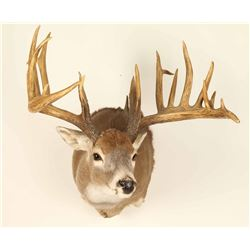 Beautiful Rare 9x12 Buck Mount