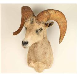 Mountain Goat Shoulder Mount