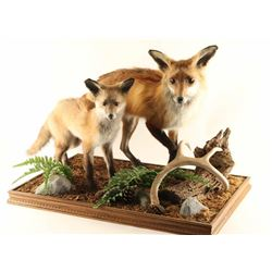 Two Fully Mounted Foxes