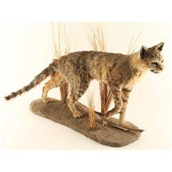 Wild African Game Cat