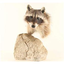 Raccoon Head Mount