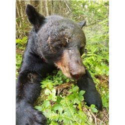 Maine Black Bear
