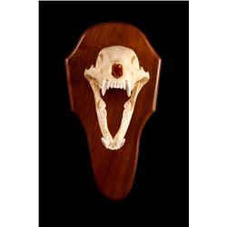 Montana Black Bear Skull Wall Mount Taxidermy