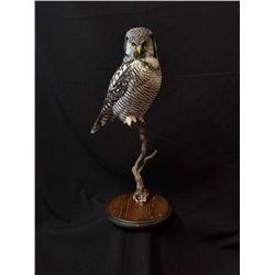 Northern Owl Hawk