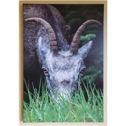 "24""x 36"" Canvas Print of Stone Sheep Ewe"
