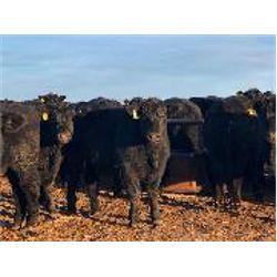 Woodland Farms - Steers
