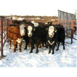 D Flaman/Bezan Cattle/Raymore Colony - Heifers