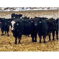 Stahlville Colony - Steers