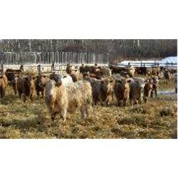 Reilly Lake Ranching - STeers