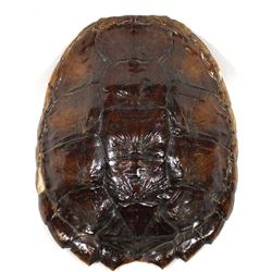 Turtle Carapace (Shell)