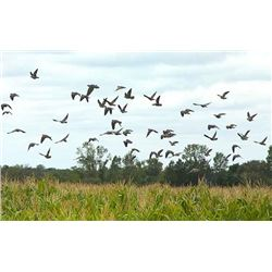 Sporting Adventures Intl. – Dove Hunt for 2 3 Days / 3 Nights