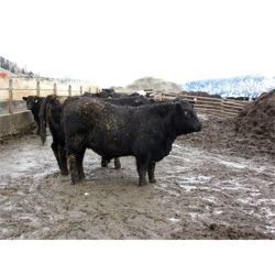 Clifton Ranch - 900 lb Steers
