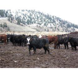 Clifton Ranch - 800 lb Heifers