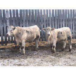 Blaine & Farron Ward - 925# Char X Steers (64 hd)