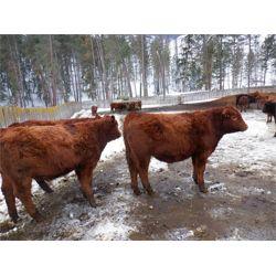 Ian & Bev Smith - 850# Steers (40 hd)