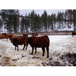 Ian & Bev Smith - 770# Heifers (35 hd)