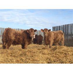 Grassy Flat Ranch - 940# Heifers (66 hd)