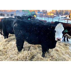 Smolinski Farms - 1050# Heifers (50 hd)