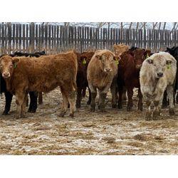 Lobo Ranching Ltd. - 775# Steers (80 hd)