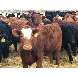 Hardluck Farms - 760# Heifers (77 hd)