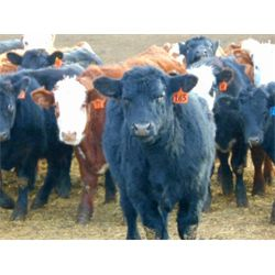 North Bend Cattle Corp. - 875# Steers (72 hd)