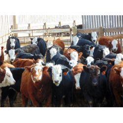North Bend Cattle Corp. - 800# Heifers (78 hd)