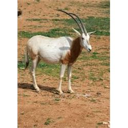 Choice of Nilgai, Scimitar Oryx, Aoudad or Axis Deer for One Hunter