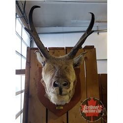 Taxidermy Mount (Antelope) Tag#19843