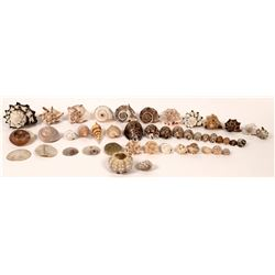 Sea Shell Collection, Whelks, Cowries, and Snails, Oh My! ~ 40 pcs  [126908]