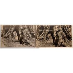 Galen Clark Real Photo Postcards  [128407]