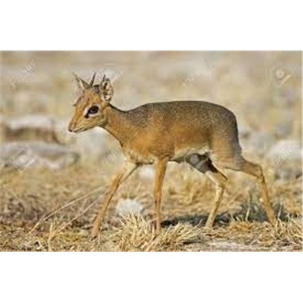 8 Day Namibia Damara Dik Dik AND Kudu for One Hunter & One Non-Hunter