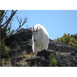 Montana - Governor's Goat Tag – Mountain Goat