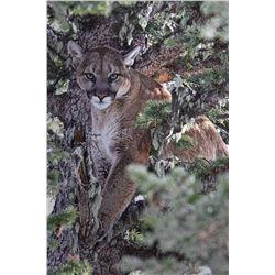 Montana - Mountain Lion Hunt