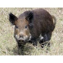 Wild Hog Hunt for Four in Florida