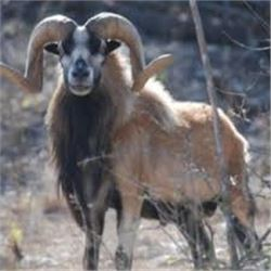 Corsican Ram Hunt for Two in Hill Country, Texas