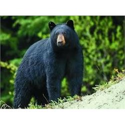 Black Bear Hunt in Maine