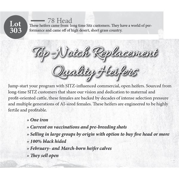 78 hd Open Replacement Heifers