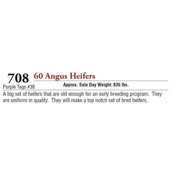 60 ANGUS HEIFERS