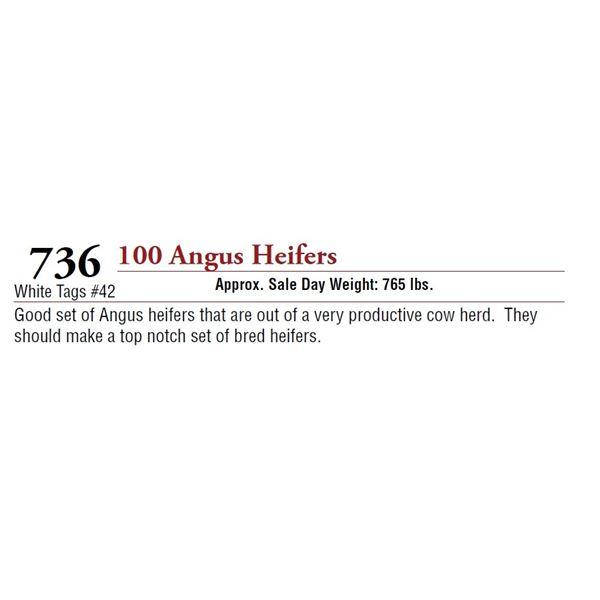 100 ANGUS HEIFERS