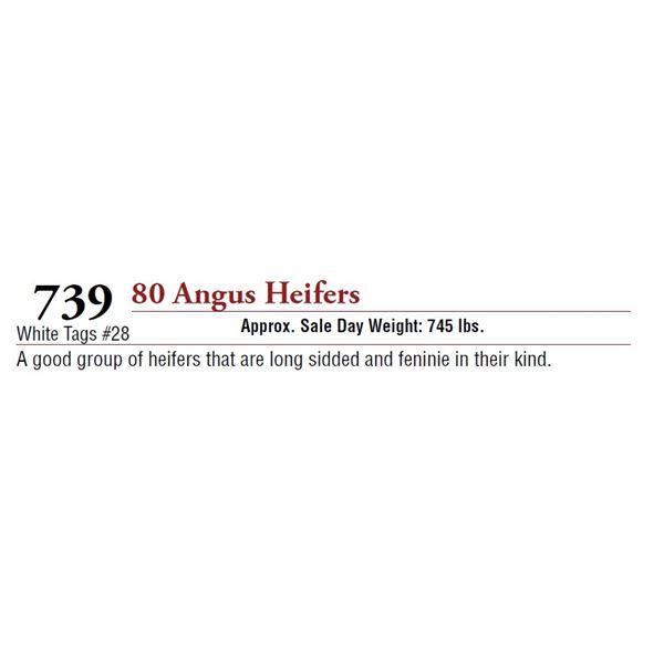 80 ANGUS HEIFERS